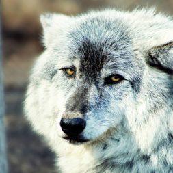 gray wolf dog
