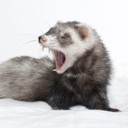 ferret yawning teeth
