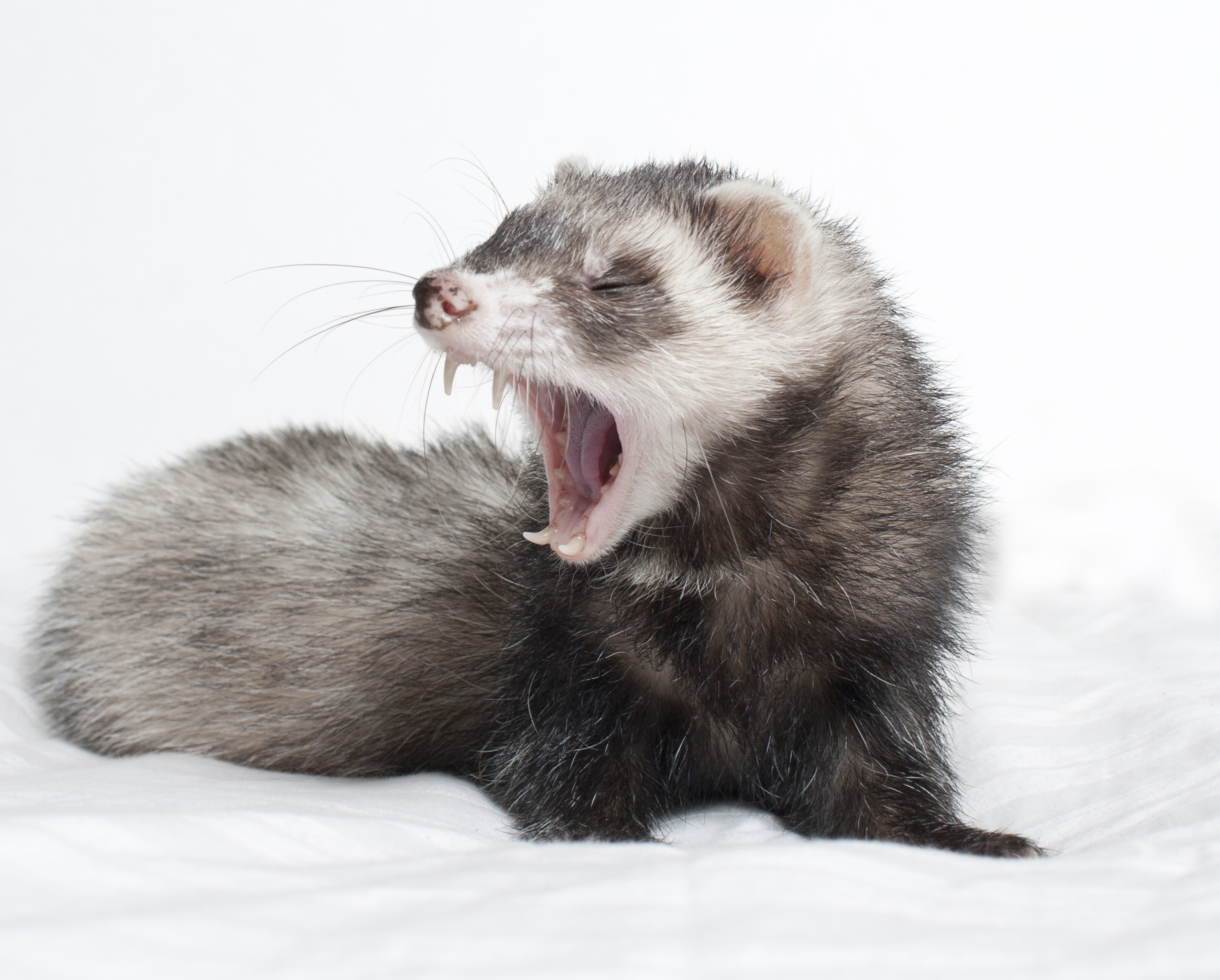ferret yawning  teeth
