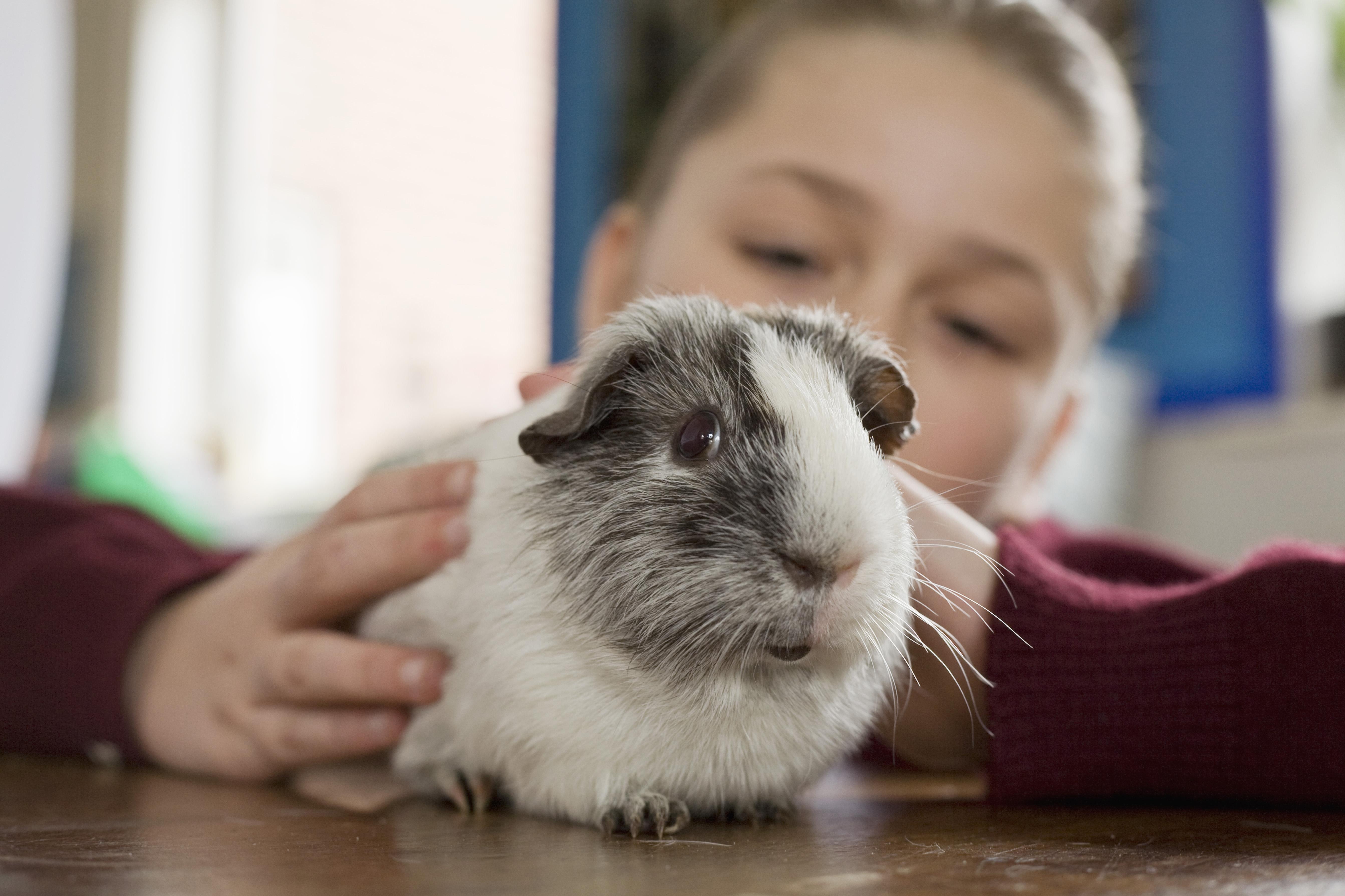 Adopt a Rescued Guinea Pig | Petfinder