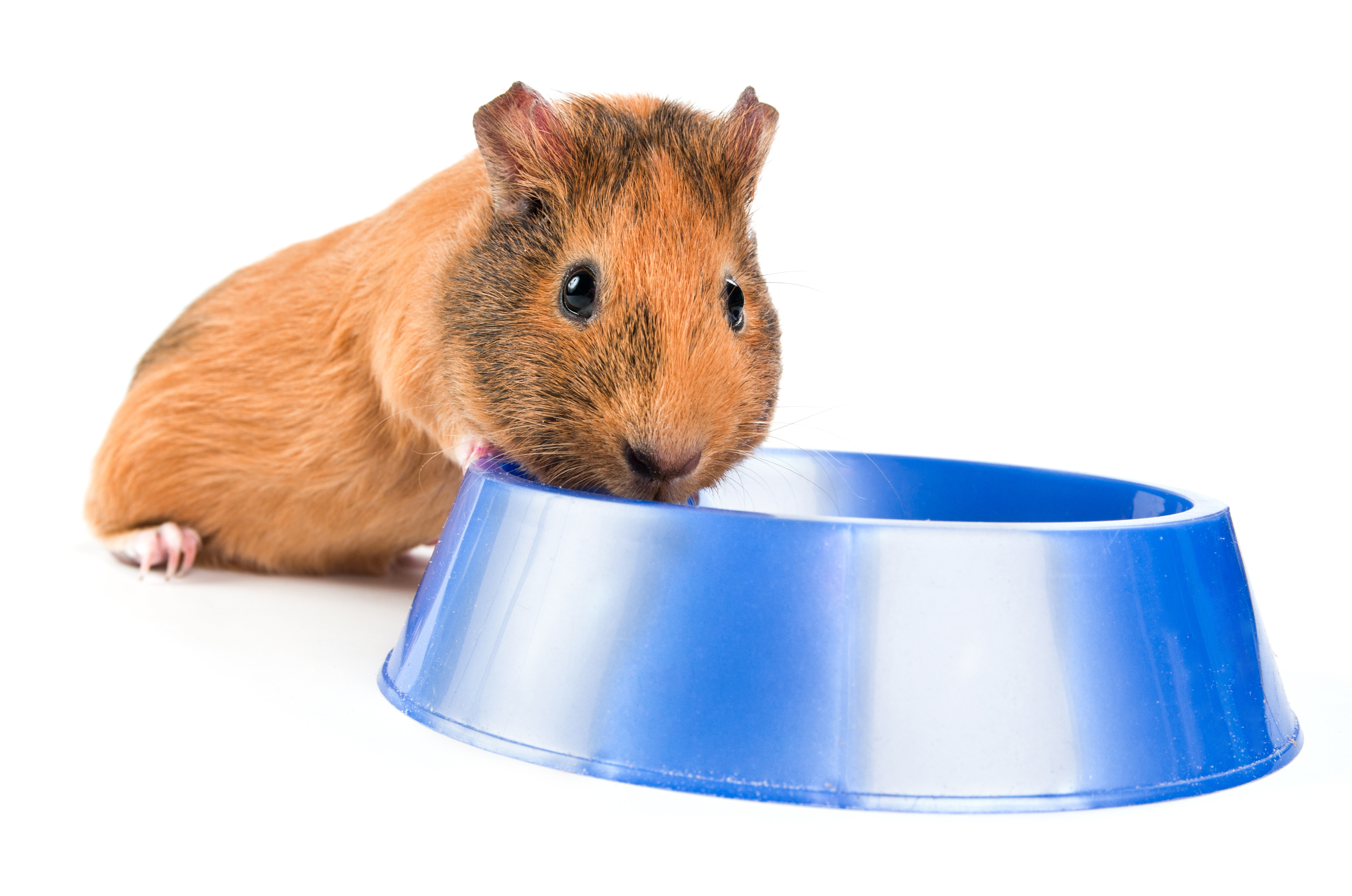 guinea pig drinking from bowl