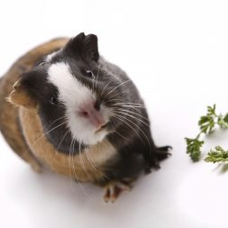 guinea pig and parsley