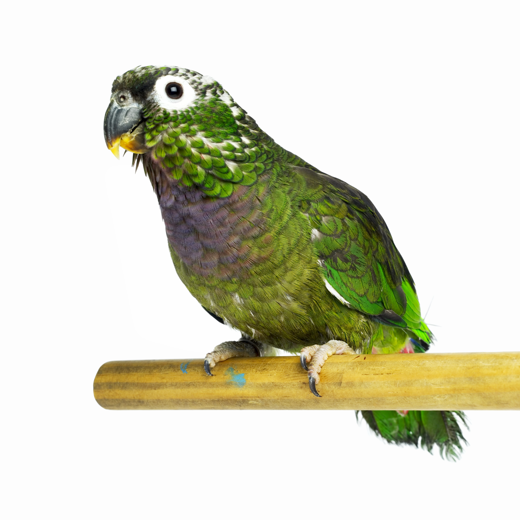 green pet bird