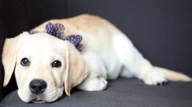 yellow lab puppy with purple bow