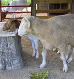 Betsy's goats and sheep