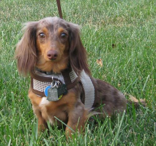 Adoptable brown Dachshund