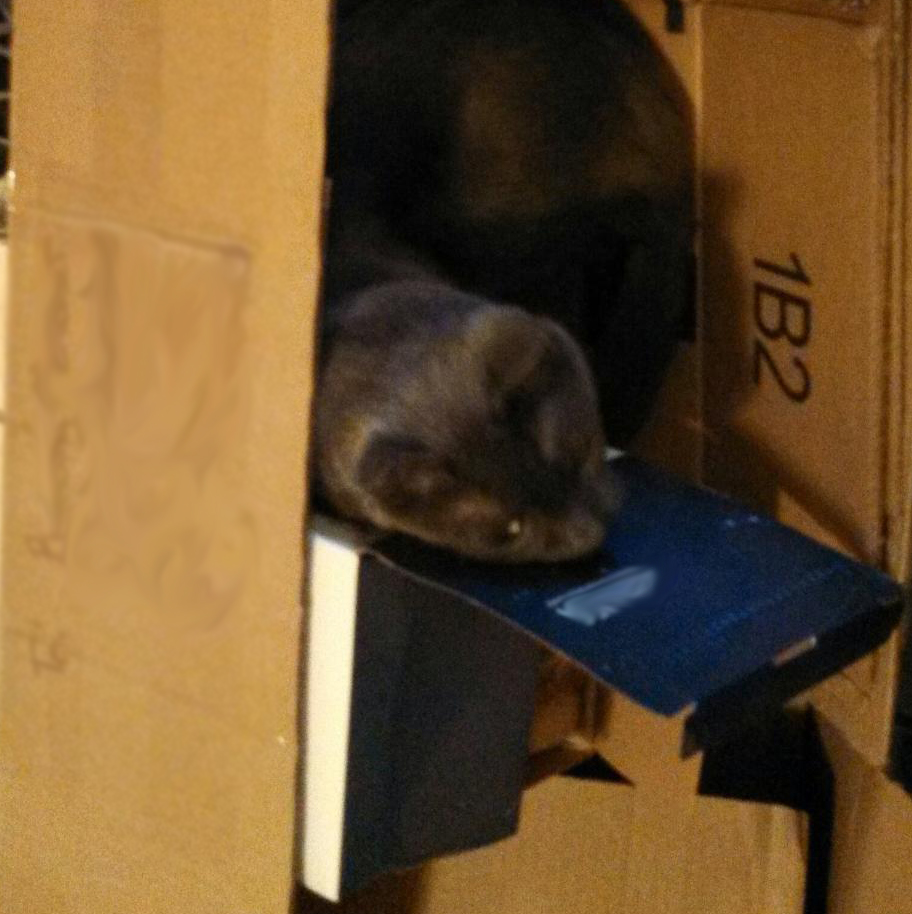 Gray cat in a box