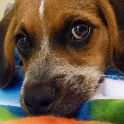 Penny the Beagle mix