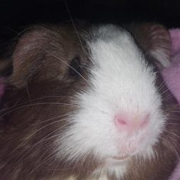 Pricess the guinea pig