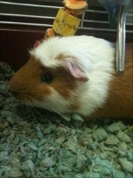 Lucky, a guinea pig