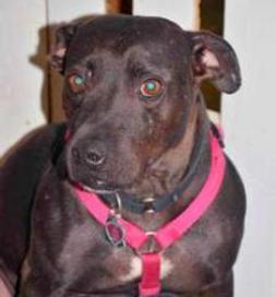 Belle, a Pit Bull Terrier