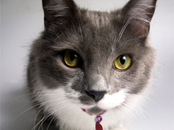 gray cat with red collar