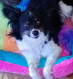 Isabella the Papillon