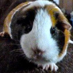 Lily the guinea pig