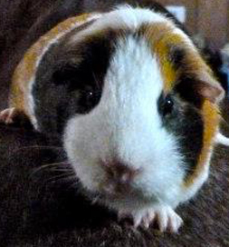 Lily the guinea pig