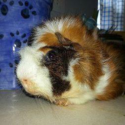 Skunk, the guinea pig