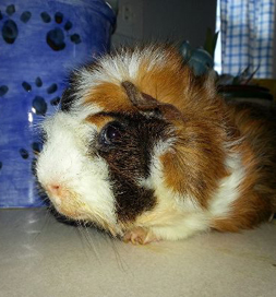 Skunk, the guinea pig