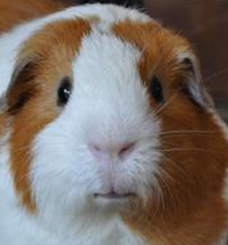Jakey the guinea pig