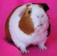 Adoptable Guinea Pig