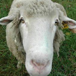 angus the sheep