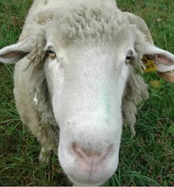 angus the sheep