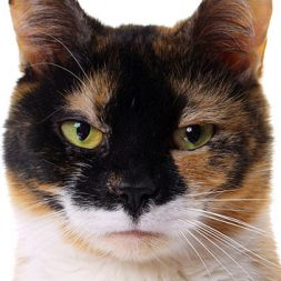 calico angry cat