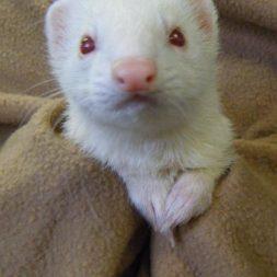 Loka the ferret