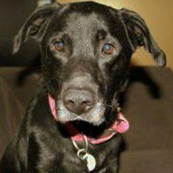 Adoptable Labrador Retriever