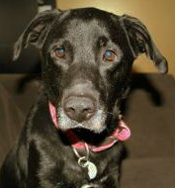 Adoptable Labrador Retriever