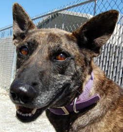Durina, an adoptable German Shepherd