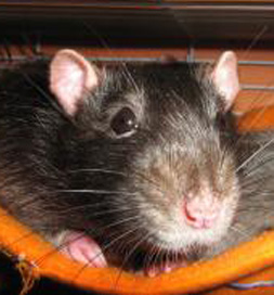 Bear, an adoptable rat