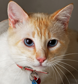 Solomon, an adoptable cat