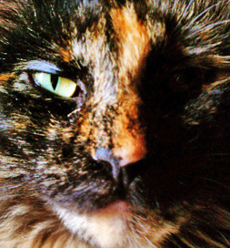 Cocoabean the Tortoiseshell cat