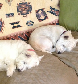 Two Westies sleeping