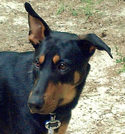 Argo the Doberman