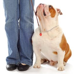 bulldog looking up at owner