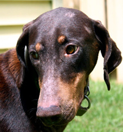 Diamond, an adoptable Doberman