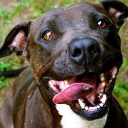 Firecracker, an adoptable dog