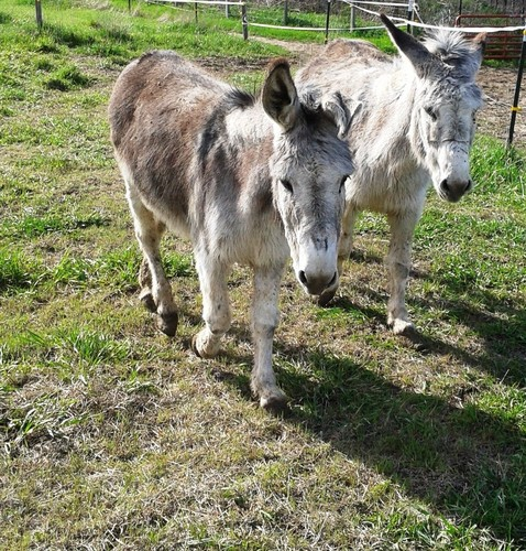two donkeys