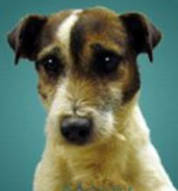 Monty, a Jack Russell Terrier