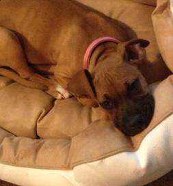 Scarlett, a boxer pup