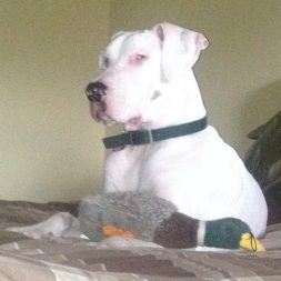White Great Dane sitting with a duck toy in front of him