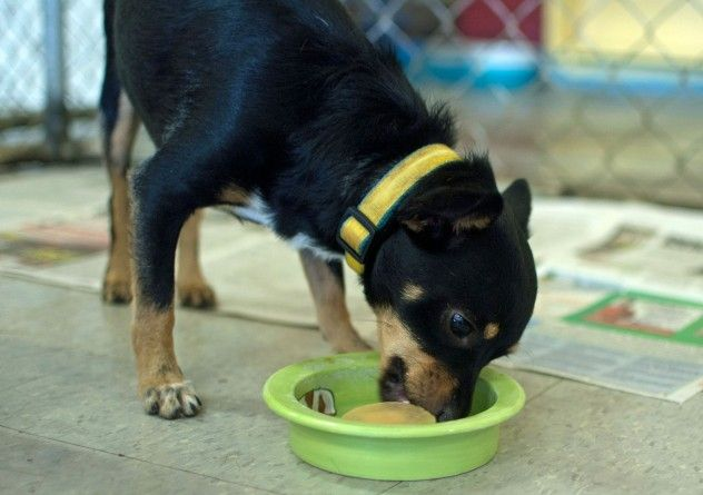dog eating from dish