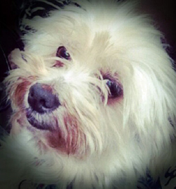 KiKI, an adopted American Eskimo dog