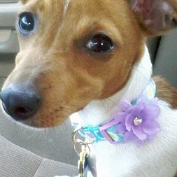 Chloe, a rat-terrier mix