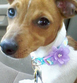 Chloe, a rat-terrier mix