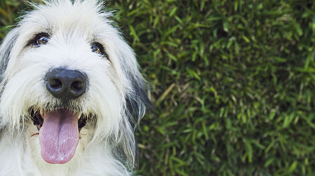 sheepdog with tongue out