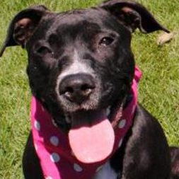 black bull terrier wearing a pink scarf