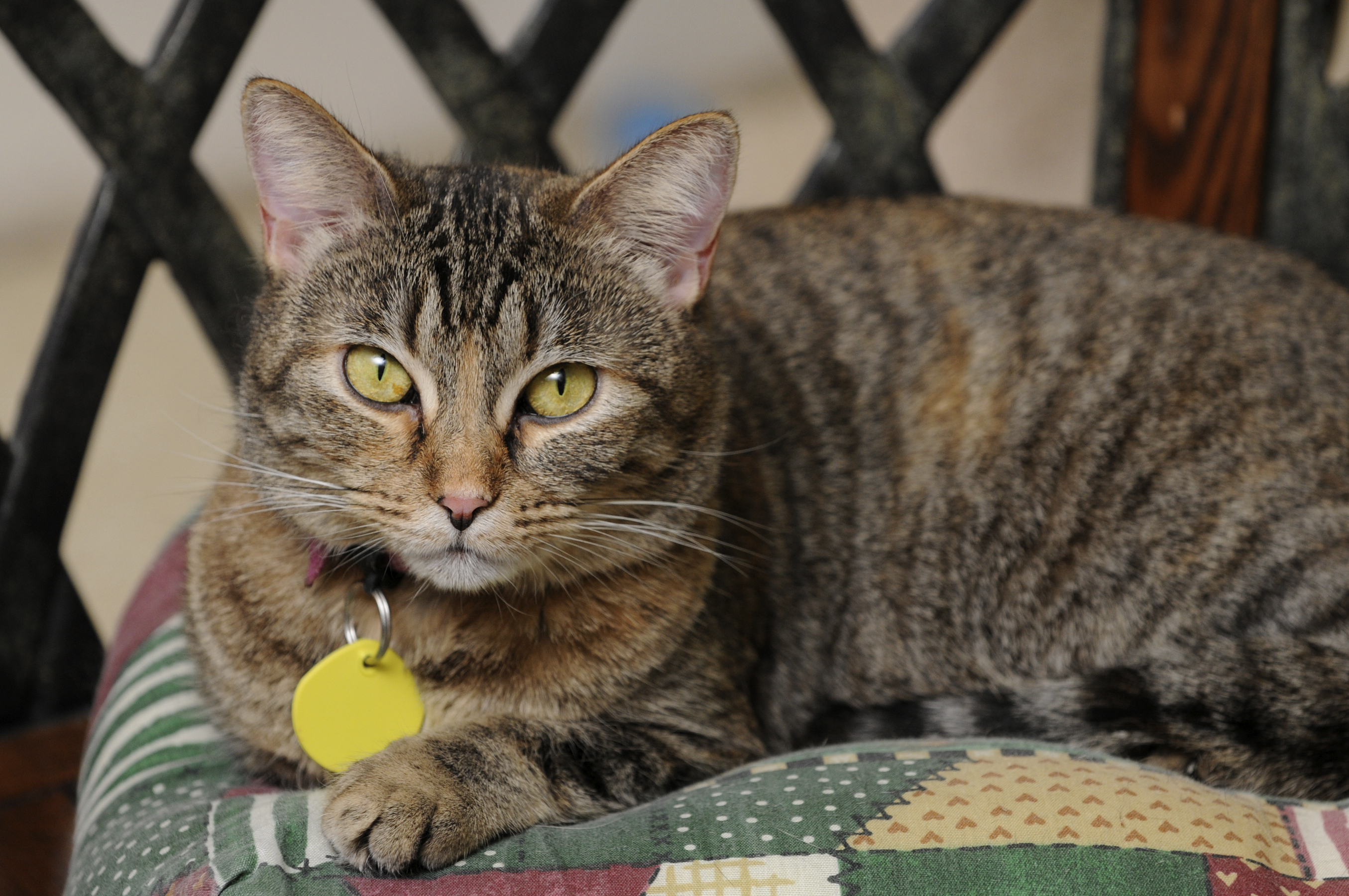 why should my cat wear a collar and tag petfinder