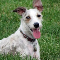 Winston, a Schnauzer-Italian Greyhound mix